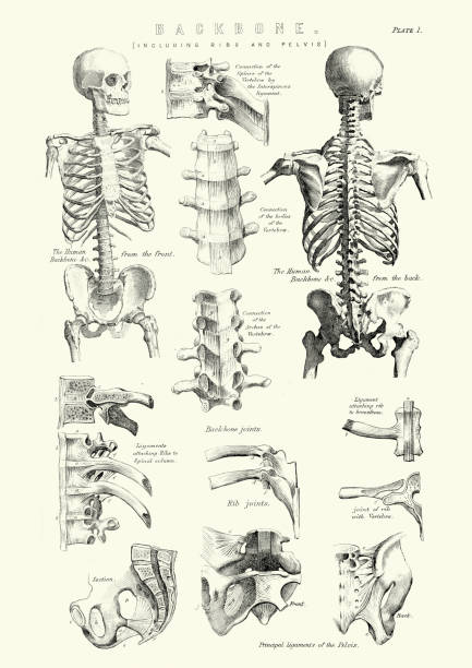 Human Anatomy - Backbone including Ribs and Pelvis Vintage engraving of the human Backbone including Ribs and Pelvis. 19th Century medical diagram stock illustrations