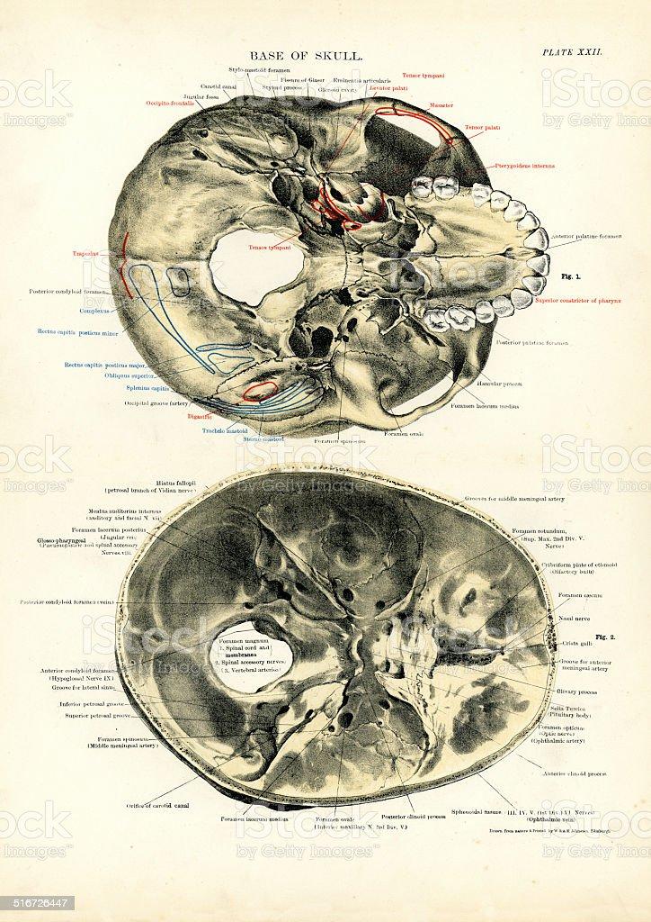 Human Anatomy - Base of the Skull vector art illustration