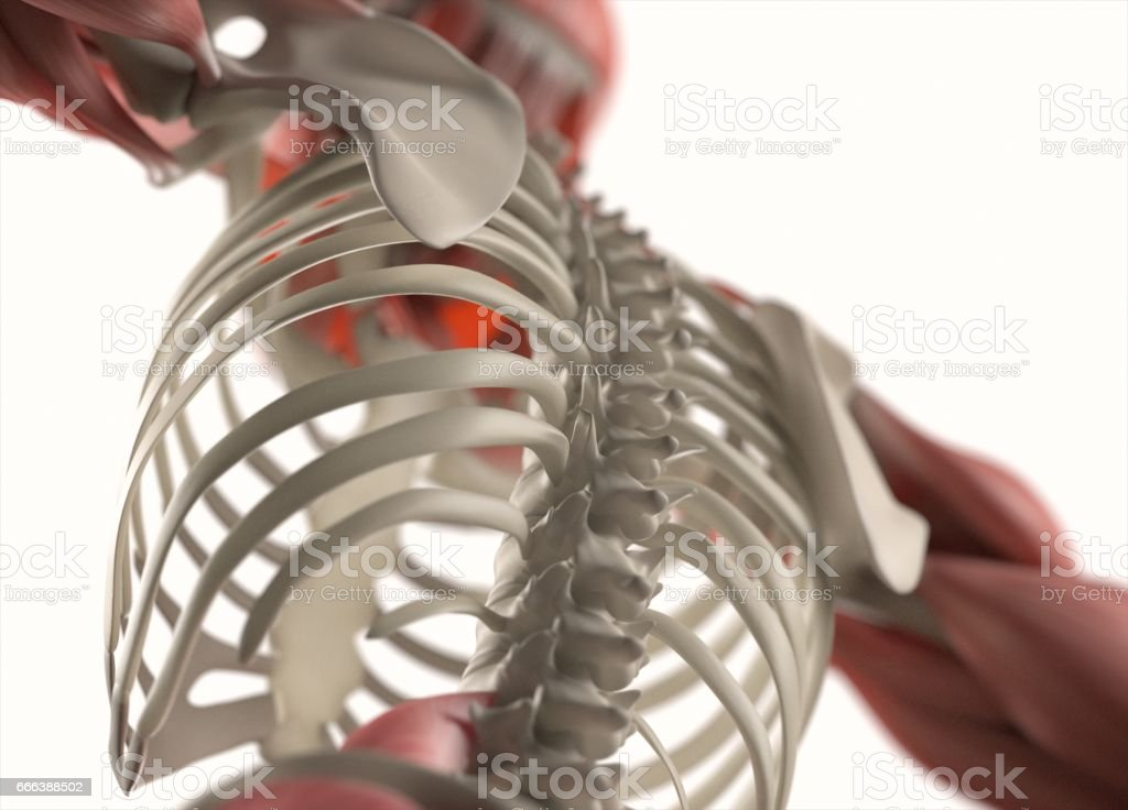 Human anatomy body. Muscular and skeletal system. Professional lighting. vector art illustration