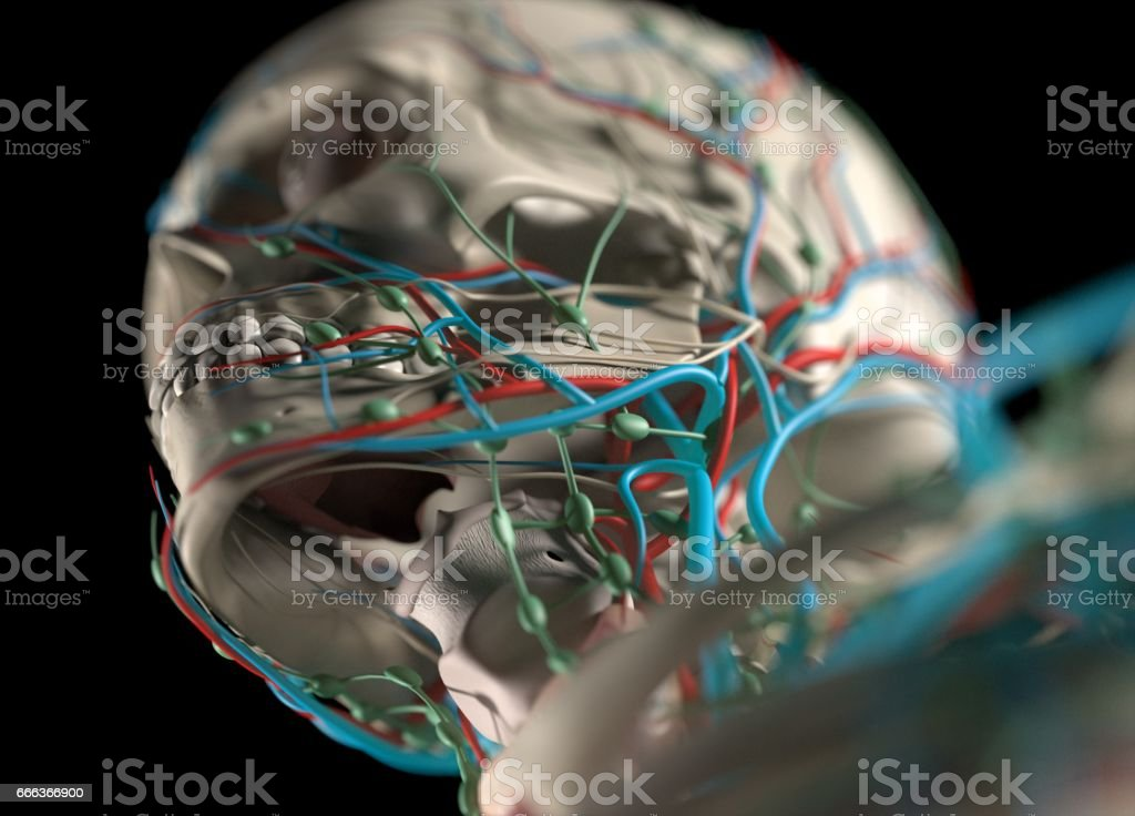 Menschliche Anatomie Körper Skelett Organe Gefäß Lymph Und ...