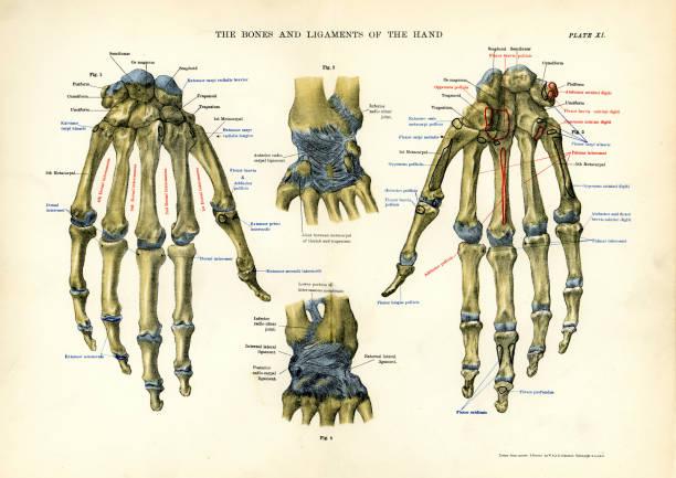 Vintage medical diagram stock illustrations