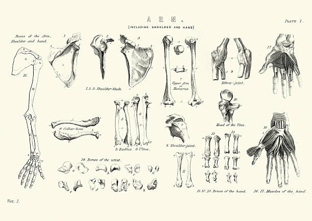 Human anatomy - Bones of the Arm Vintage engraving of Human anatomy, Bones of the Arm including shoulder and hand, 19th Century medical diagrams stock illustrations