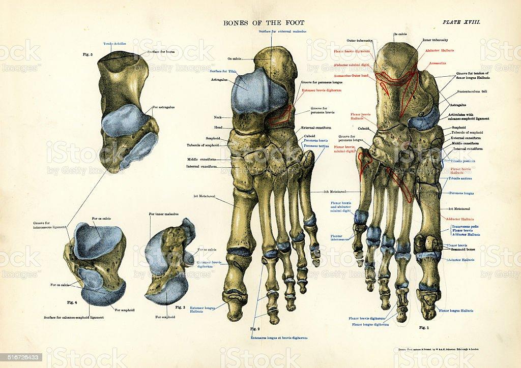 Human Anatomy - Bones of the Foot vector art illustration