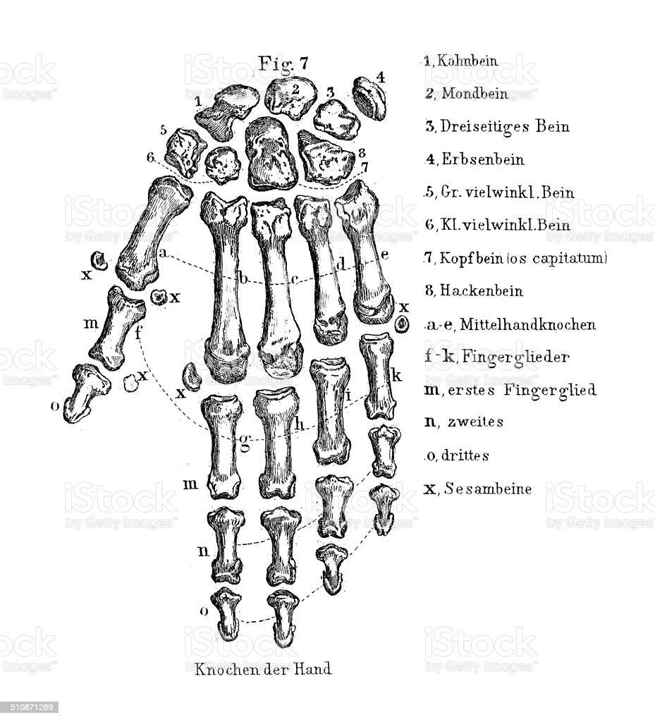 Ilustración de Anatomía Humana Dibujos De Mano y más banco de ...