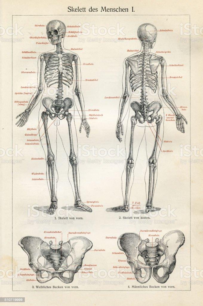 Menschliche Anatomie Zeichnungen Stock Vektor Art und mehr Bilder ...