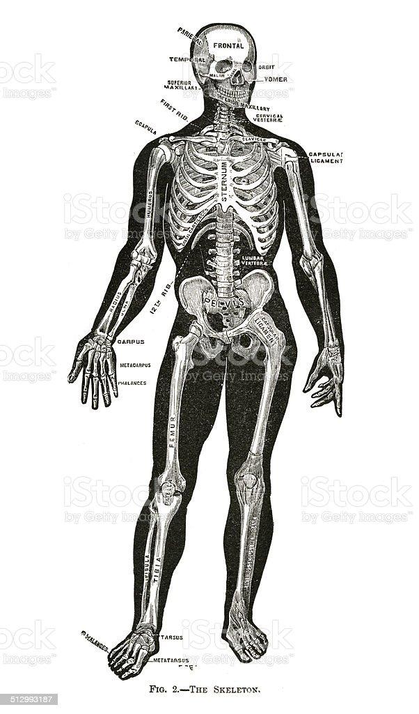 Anatomía Humana Dibujos - Arte vectorial de stock y más imágenes de ...