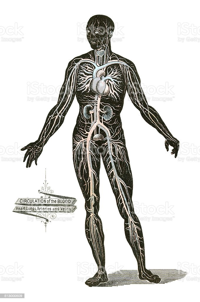 Ilustración de Anatomía Humana Dibujos y más banco de imágenes de ...