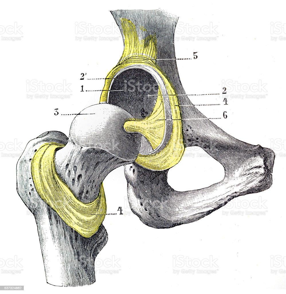 Menschliche Anatomie Femur Gravur 1899 Vektor Illustration 537324862 ...
