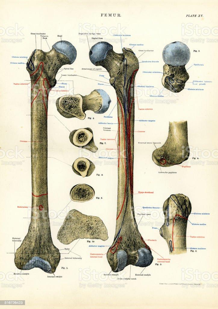 Ilustración de Anatomía Humana De Fémur y más banco de imágenes de ...