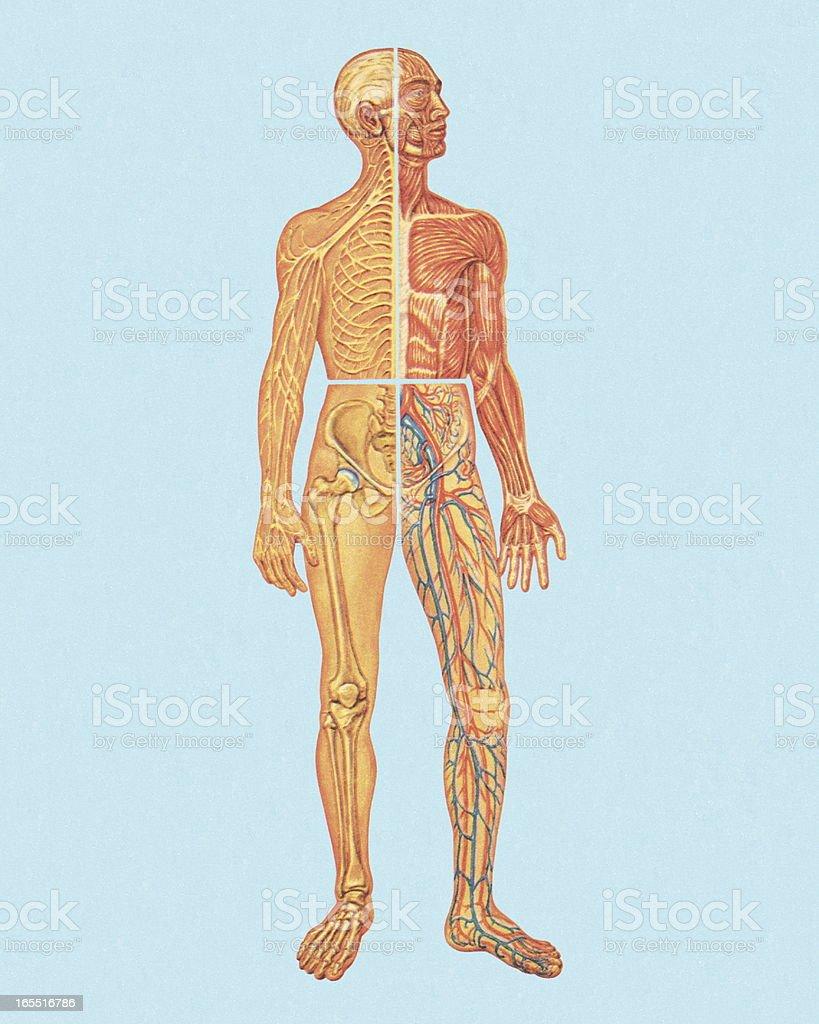 Menschliche Anatomie Stock Vektor Art und mehr Bilder von Anatomie ...