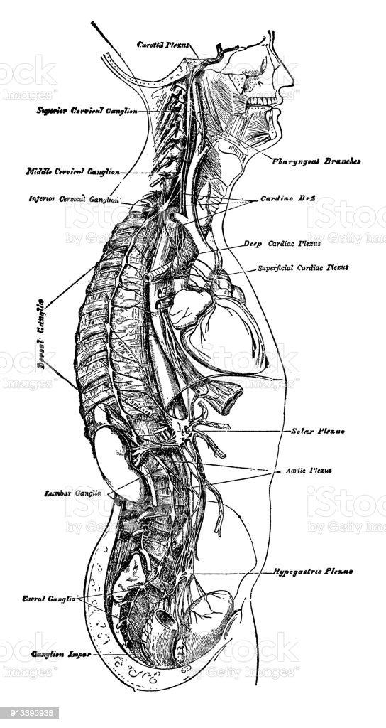 Anatomía Humana - Arte vectorial de stock y más imágenes de Anatomía ...