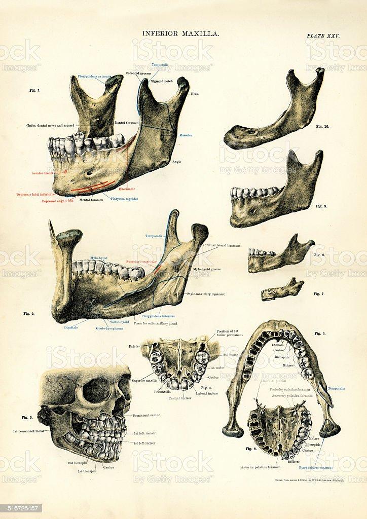 Ilustración de Anatomía Humana Del Maxilar Inferior y más banco de ...