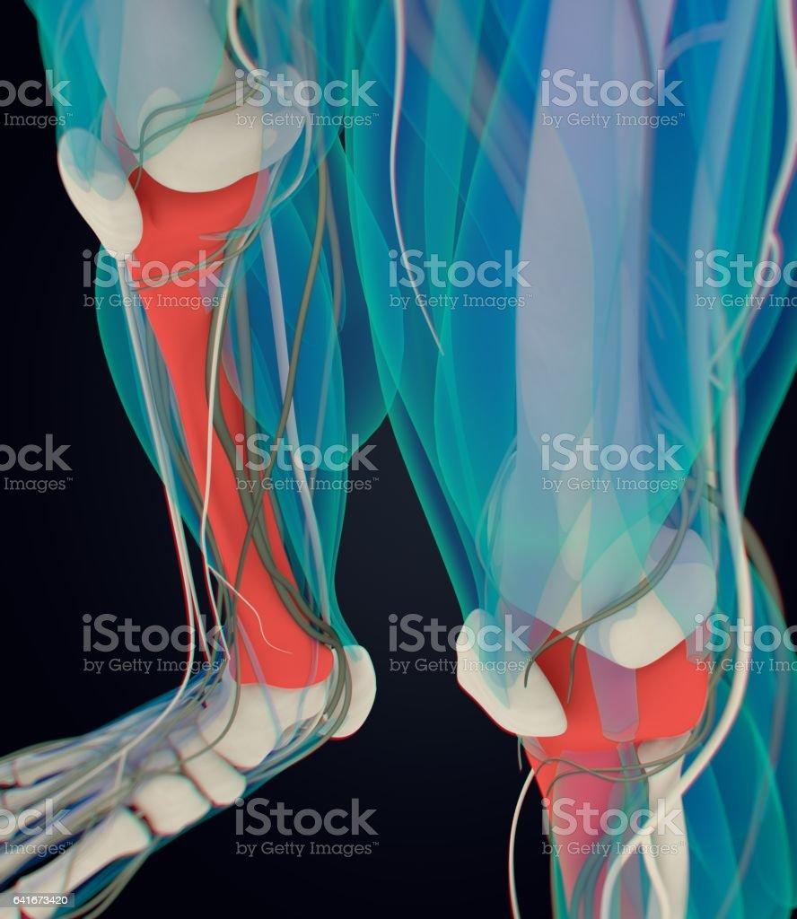 Anatomía Humana Masculina Tibia Hueso De La Espinilla Ilustración 3d ...