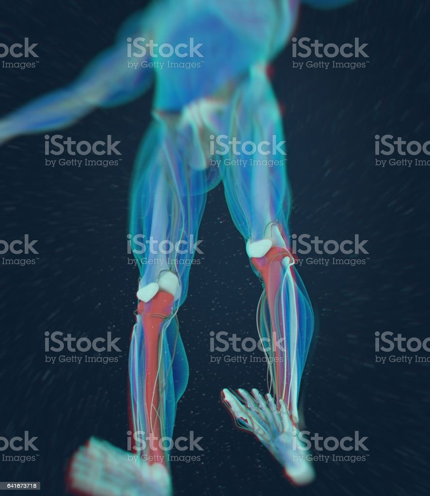 Human Anatomy Male Tibia Shin Bone 3d Illustration Stock Vector Art ...