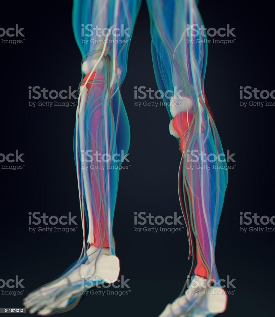 Ilustración de Anatomía Humana Masculina Tibia Hueso De La Espinilla ...