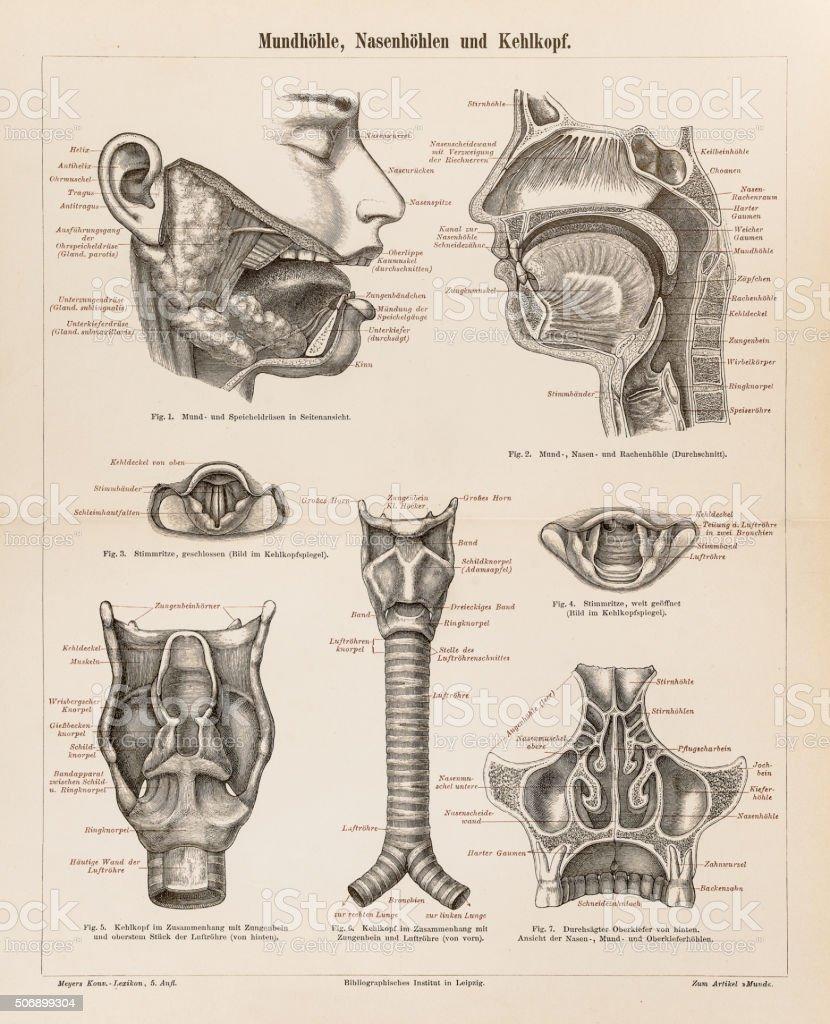 Anatomía Humana Boca De Una Nariz 1896 - Arte vectorial de stock y ...