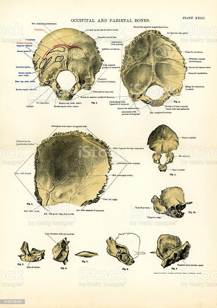 Ilustración de Anatomía Humana Parietal Y Hueso Occipital y más ...