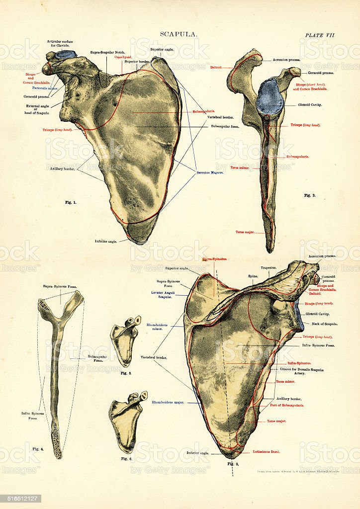Human Anatomy Scapula Stock Vector Art & More Images of 19th Century ...