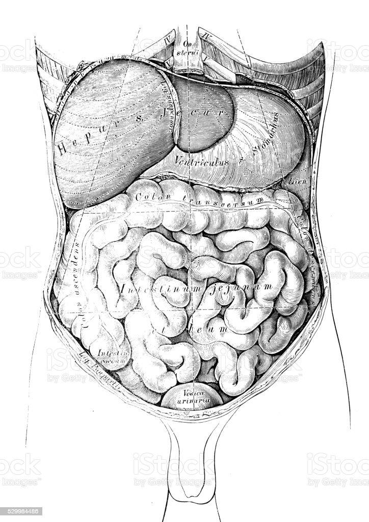 Ilustraciones Científicas De Anatomía Humana Abdomen Mapa - Arte ...