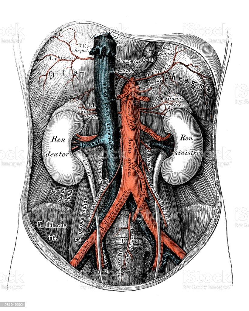 Human Anatomy Scientific Illustrations Abdominal Aorta Stock Vector ...