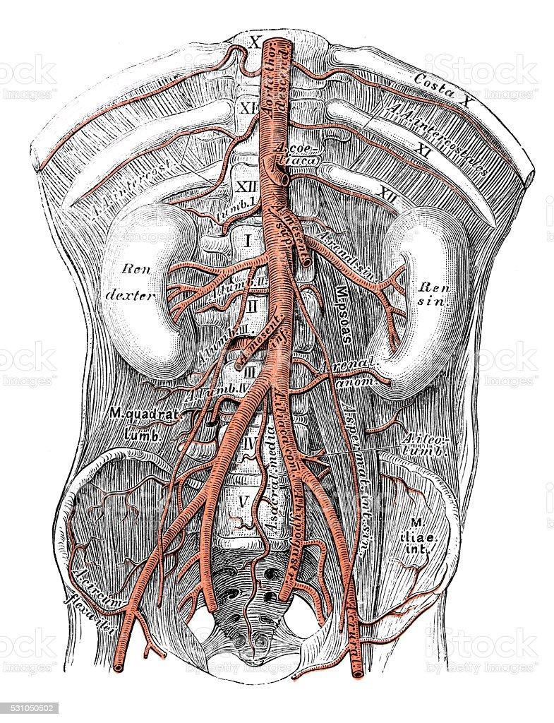 Human anatomy scientific illustrations: Abdominal aorta vector art illustration