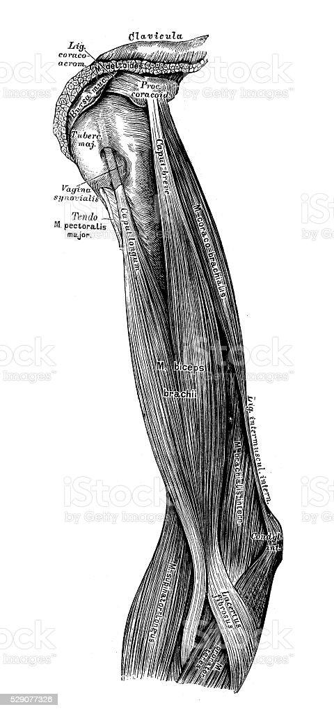 Anatomie Des Menschen Wissenschaftliche Illustrationen Arm Muskeln ...