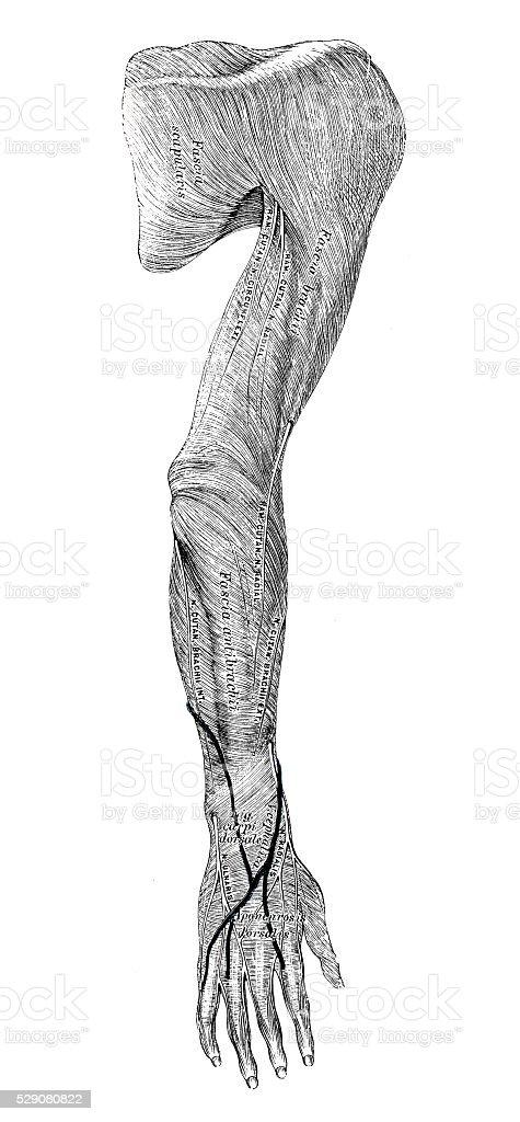 Ilustraciones Científicas De Anatomía Humana Brazo Los Músculos ...