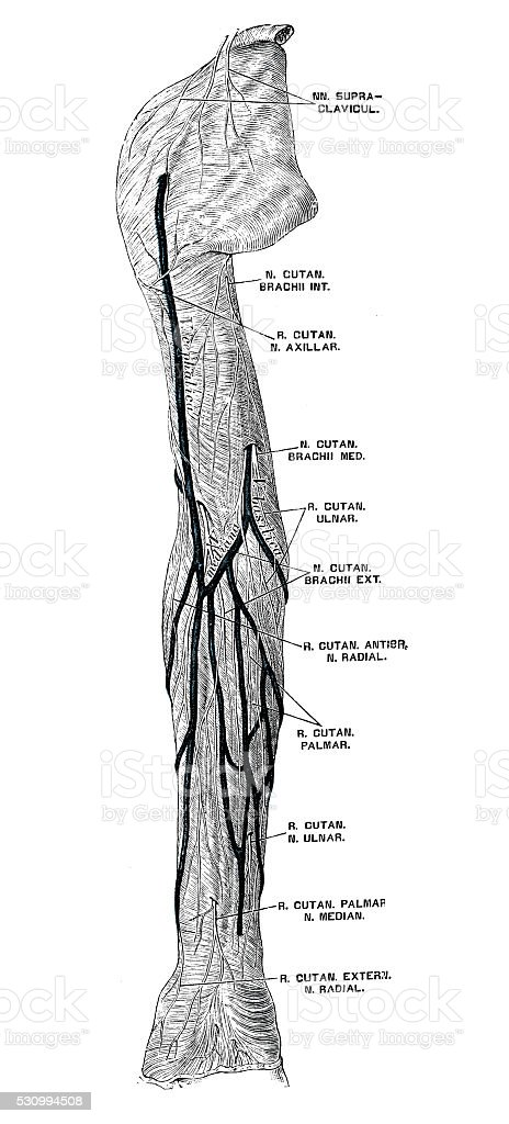 Human Anatomy Scientific Illustrations Arm Nerves Stock Vector Art ...