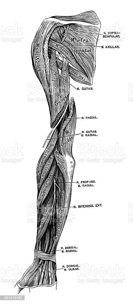 Human Anatomy Scientific Illustrations Arm Nerves Stock Vector Art
