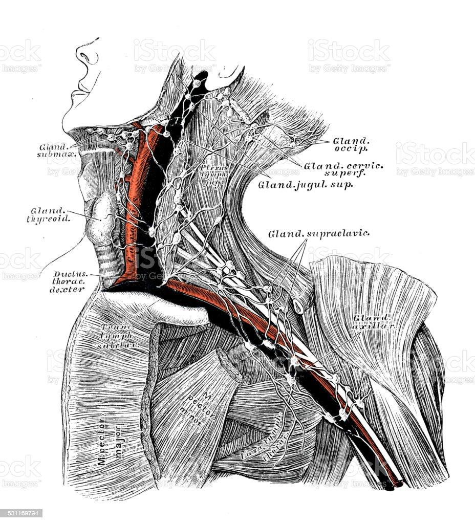 Ilustración de Ilustraciones Científicas De Anatomía Humana Axila ...