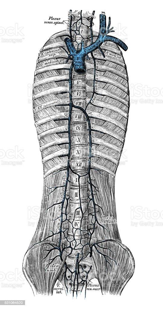 Human Anatomy Scientific Illustrations Azygos Vein Stock Vector Art