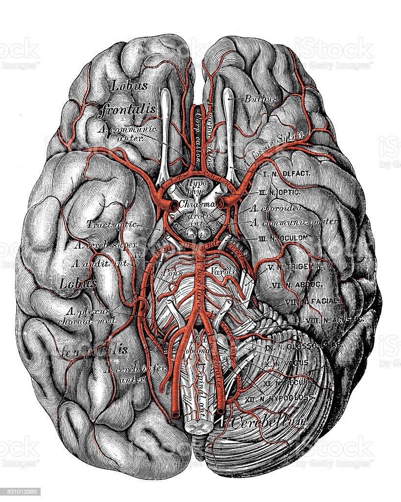 Human anatomy scientific illustrations: Basilar artery vector art illustration