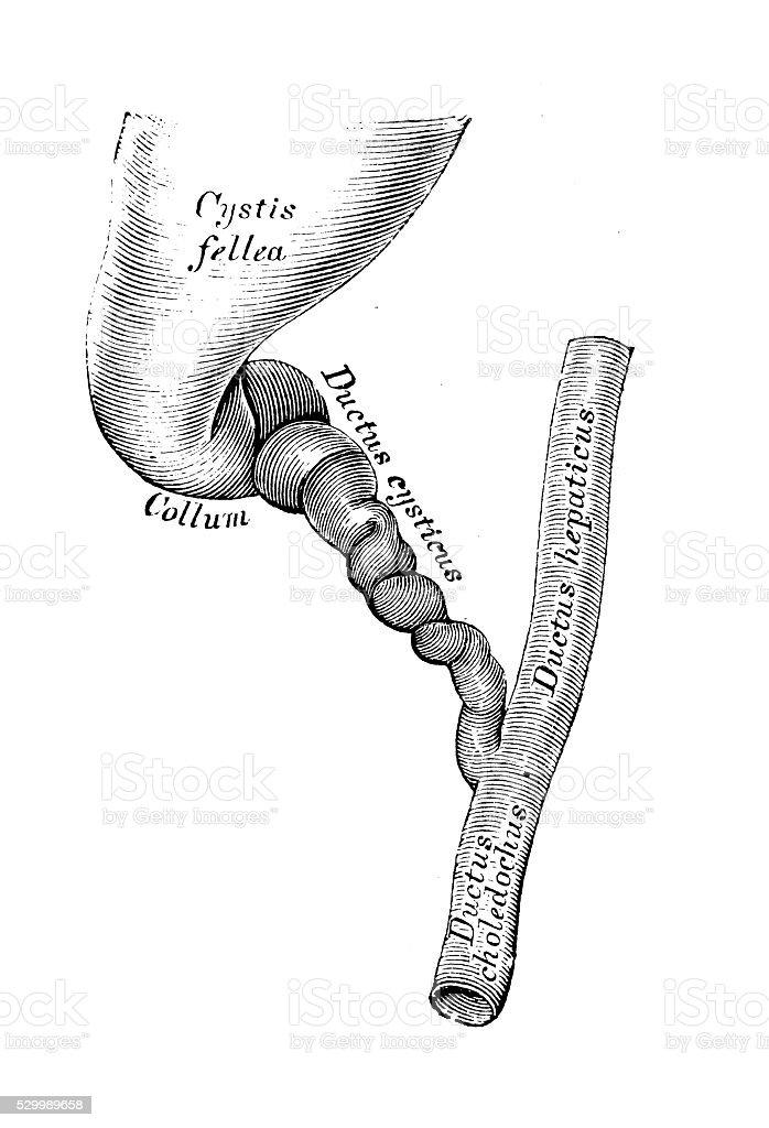 Ilustración de Ilustraciones Científicas De Anatomía Humana Conducto ...