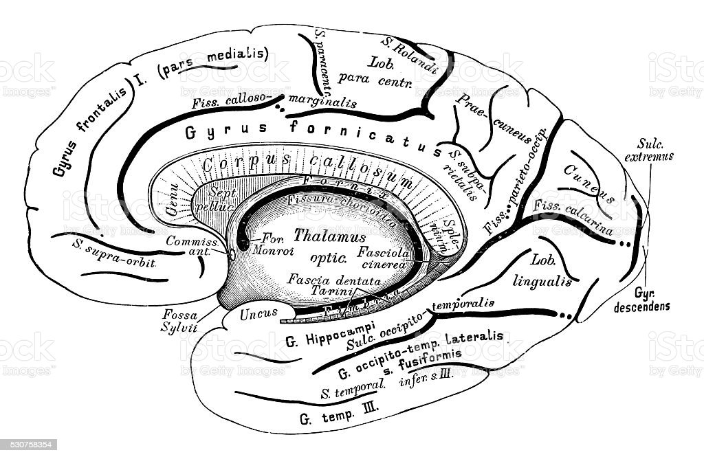 human anatomy scientific illustrations brain right hemisphere stock illustration