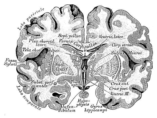 Human anatomy scientific illustrations: Brain section Human anatomy scientific illustrations with latin/italian labels: Brain section parietal lobe stock illustrations