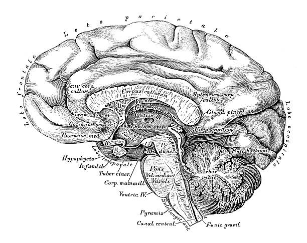 Human anatomy scientific illustrations: Brain side view Human anatomy scientific illustrations with latin/italian labels: Brain side view brain stem stock illustrations