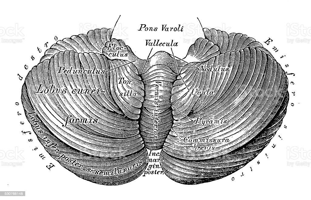 Ilustración de Ilustraciones Científicas De Anatomía Humana Cerebelo ...