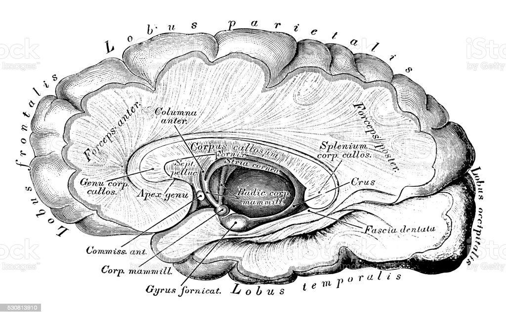 Ilustración de Ilustraciones Científicas De Anatomía Humana Corteza ...