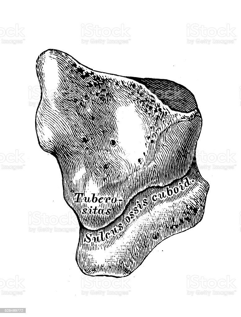Human Anatomy Scientific Illustrations Cuboid Bone Stock Vector Art ...