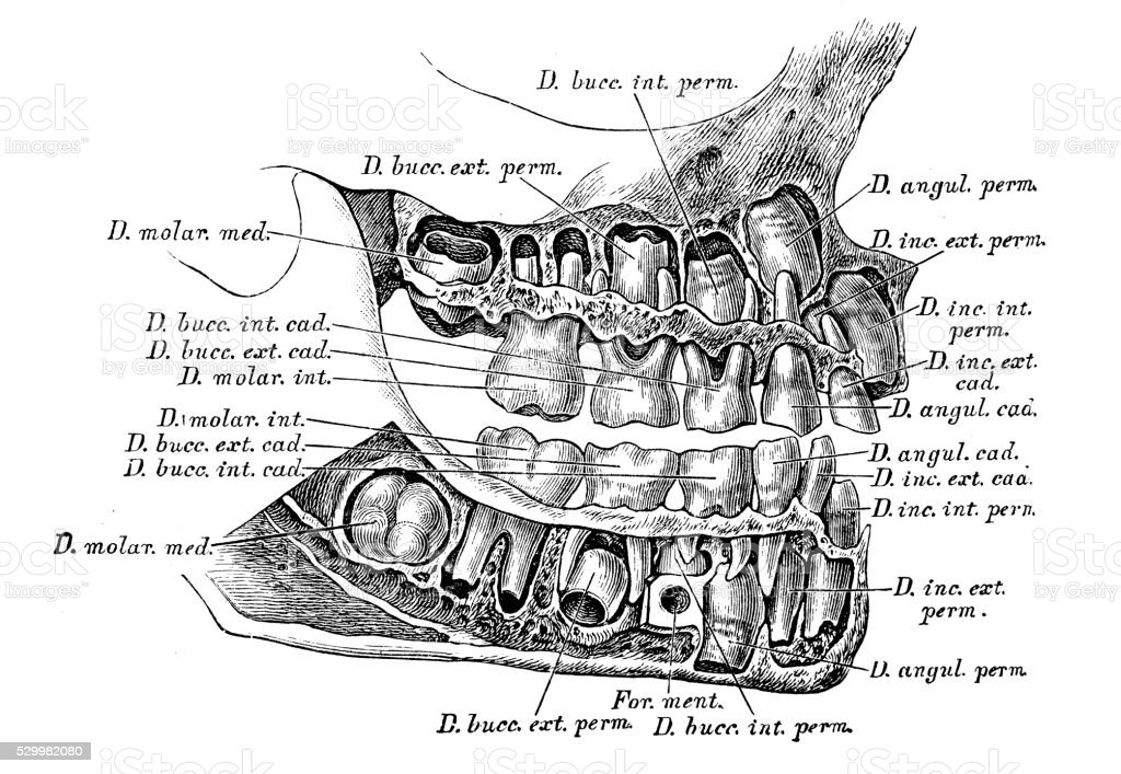 Human Anatomy Scientific Illustrations Deciduous Teeth Stock Vector