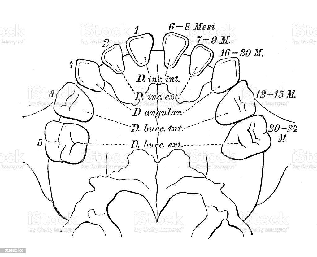Human anatomy scientific illustrations: Deciduous teeth vector art illustration