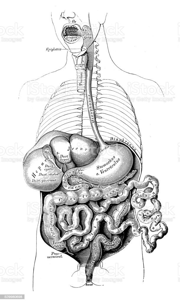 Anatomie Des Menschen Wissenschaftliche Illustrationen ...