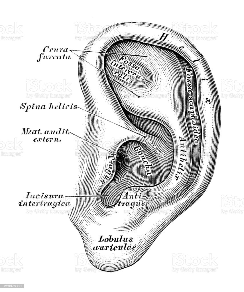 Human anatomy scientific illustrations: Ear and Auditory system vector art illustration