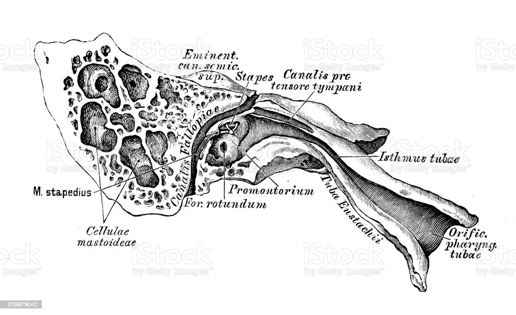 human anatomy scientific illustrations ear and auditory