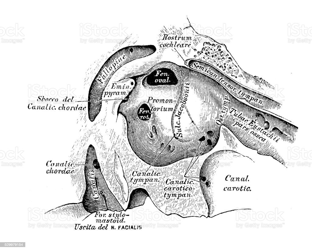 Human Anatomy Scientific Illustrations Ear And Auditory System Stock ...