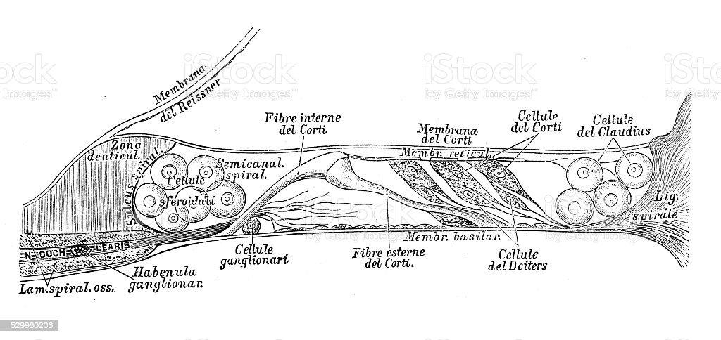 Anatomie Des Menschen Wissenschaftliche Illustrationen Ohr Und ...