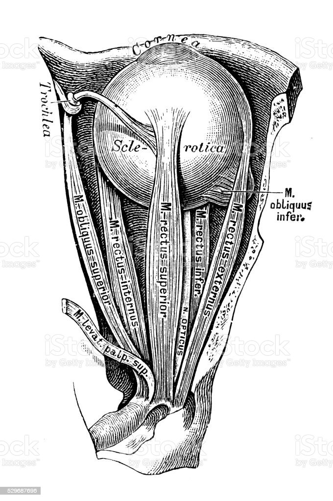 Human Anatomy Scientific Illustrations Eye Muscles Stock Vector Art