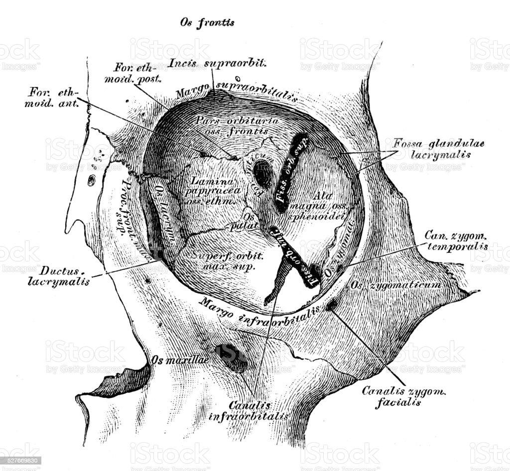 Human Anatomy Scientific Illustrations Eye Orbit Stock Vector Art ...