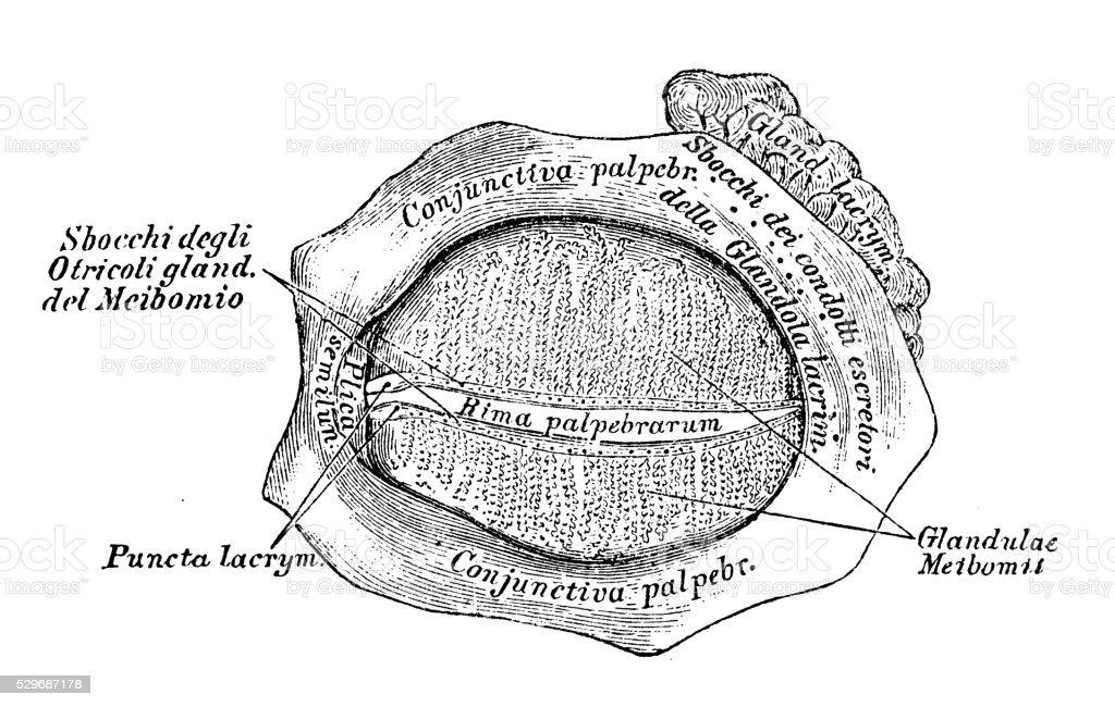 Ilustración de Ilustraciones Científicas De Anatomía Humana Párpado ...