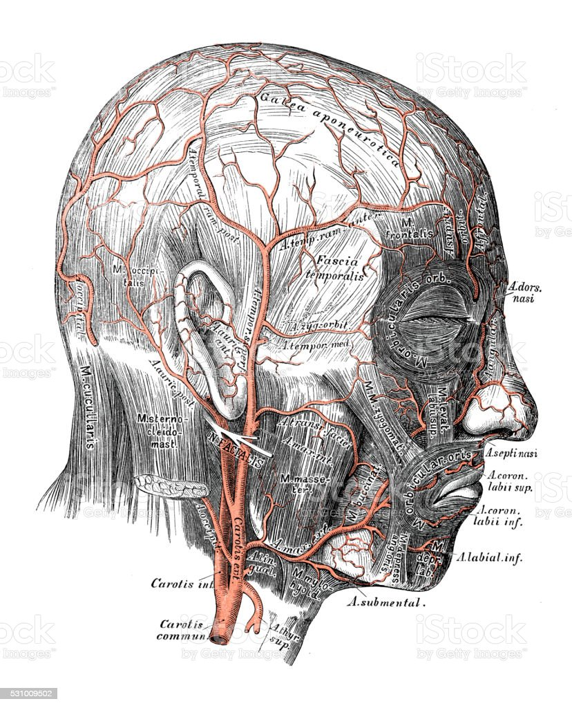 Anatomie Des Menschen Wissenschaftliche Illustrationen Gesicht ...